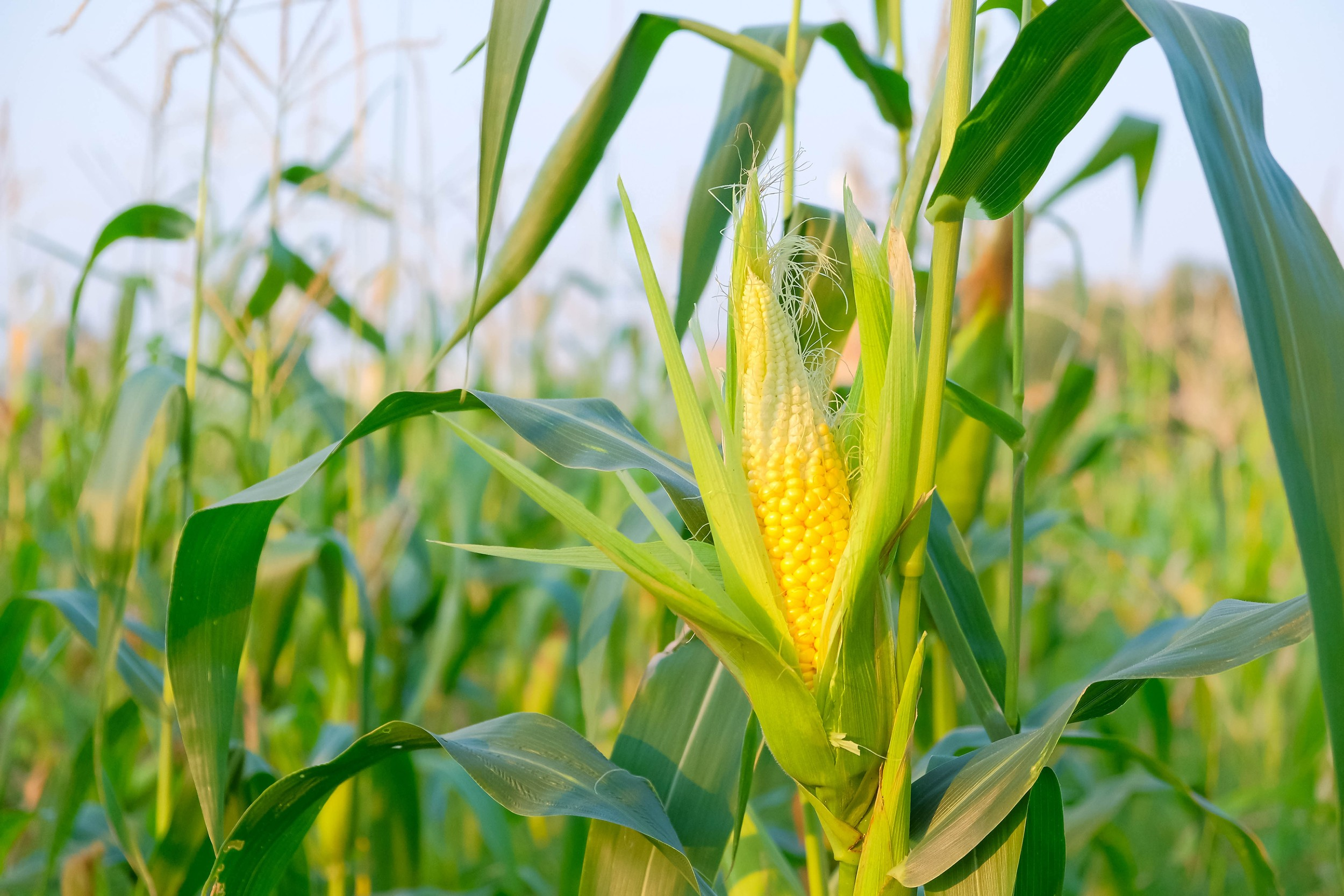 Conab segue com leilões para venda de milho