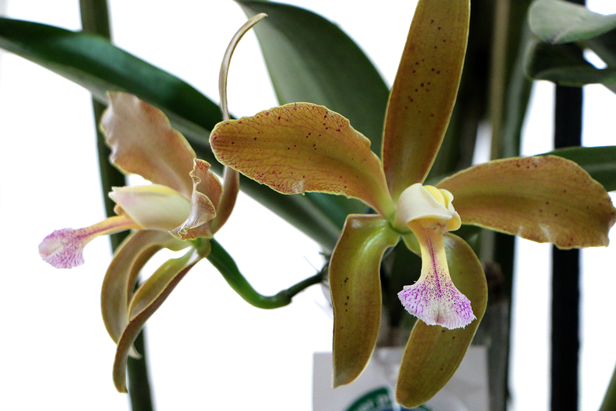 'Orquídea' é reconhecida como flor símbolo do Rio Grande do Norte