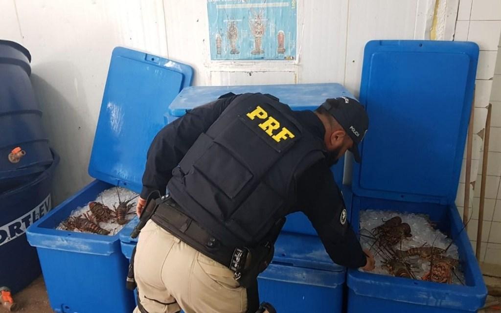 Operação apreende 357 quilos de lagostas pescadas ilegalmente em Baía Formosa