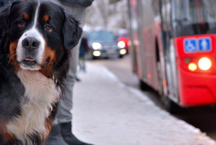 No RN, lei autoriza transporte de animais de pequeno porte em ônibus e trens