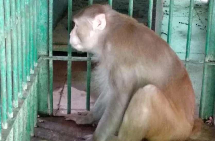 Na Índia, macaco viciado em álcool é 'preso' por comportamento agressivo