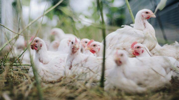 China afirma ter detectado coronavírus em frango importado do Brasil