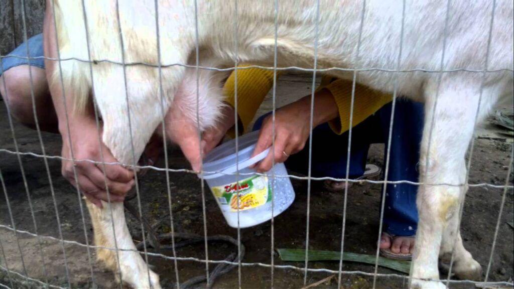 Deputado quer incluir leite de cabra e carne de caprino na merenda escolar