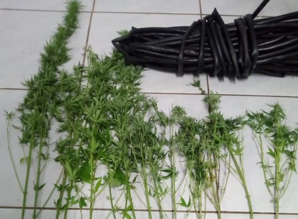 PM encontra plantação de maconha irrigada em Apodi